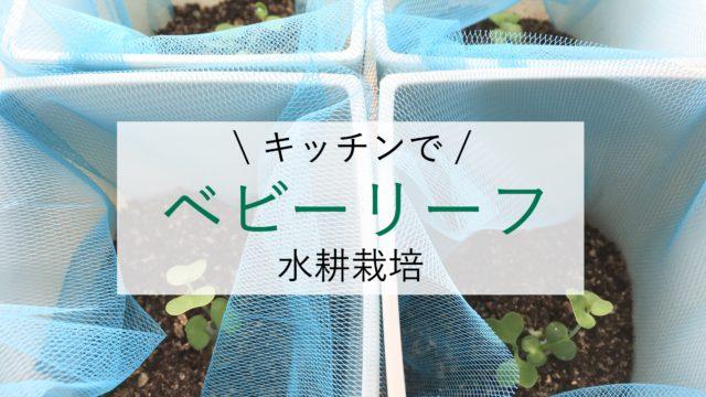 キッチンでベビーリーフ水耕栽培